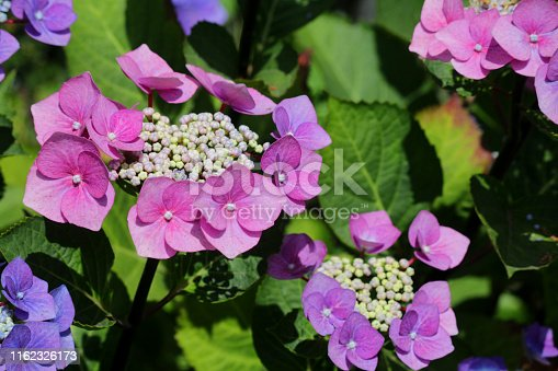 Stock photo of large pink and blue lacecap / lace cap hydrangea macrophylla bush covered with flowers, petals and flowerbuds opening, isolated against green leaves gardening background, flowering hydrangeas growing in sunny summer garden acid / alkaline soil