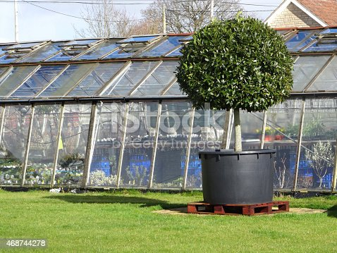 Photo showing a single specimen bay tree at a garden centre, clipped as a standard lollipop shape and pictured in front of a greenhouse / glasshouse.  Bay trees are a popular compact species of laurel, with glossy leaves and small shoots that respond well to pruning.  Of note, the Latin name for bay is: laurus nobilis.