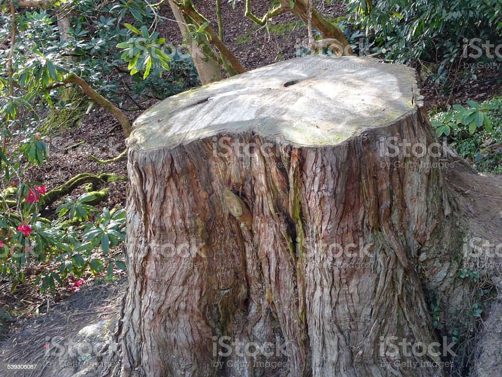 Image of large tree trunk sawn in half, counting rings stock photo