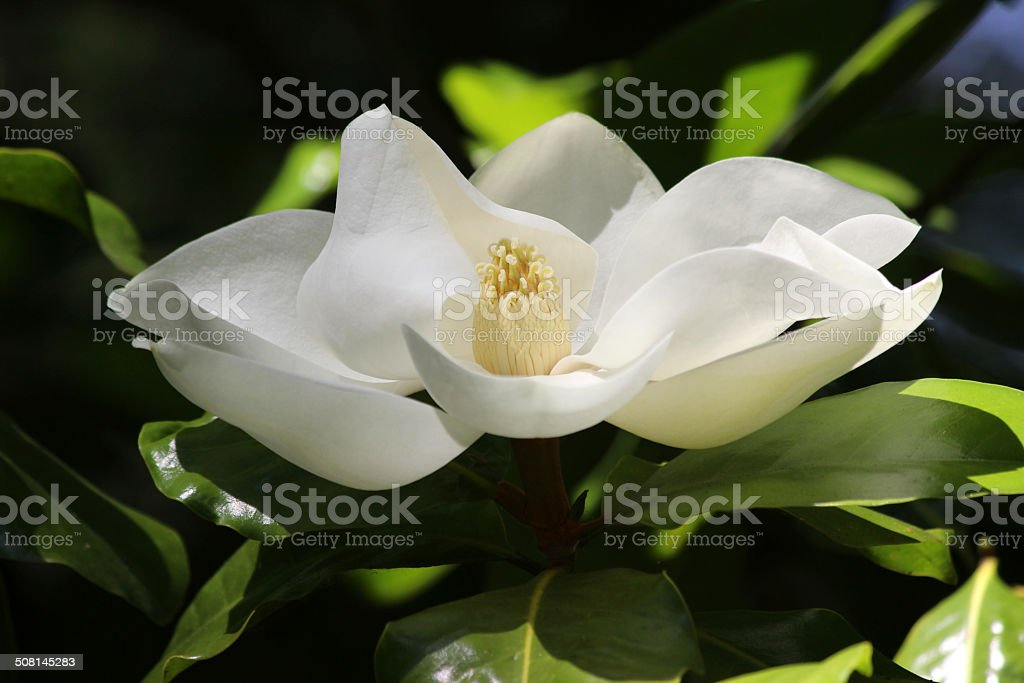 Image of large white magnolia flower in garden, green leaves stock photo