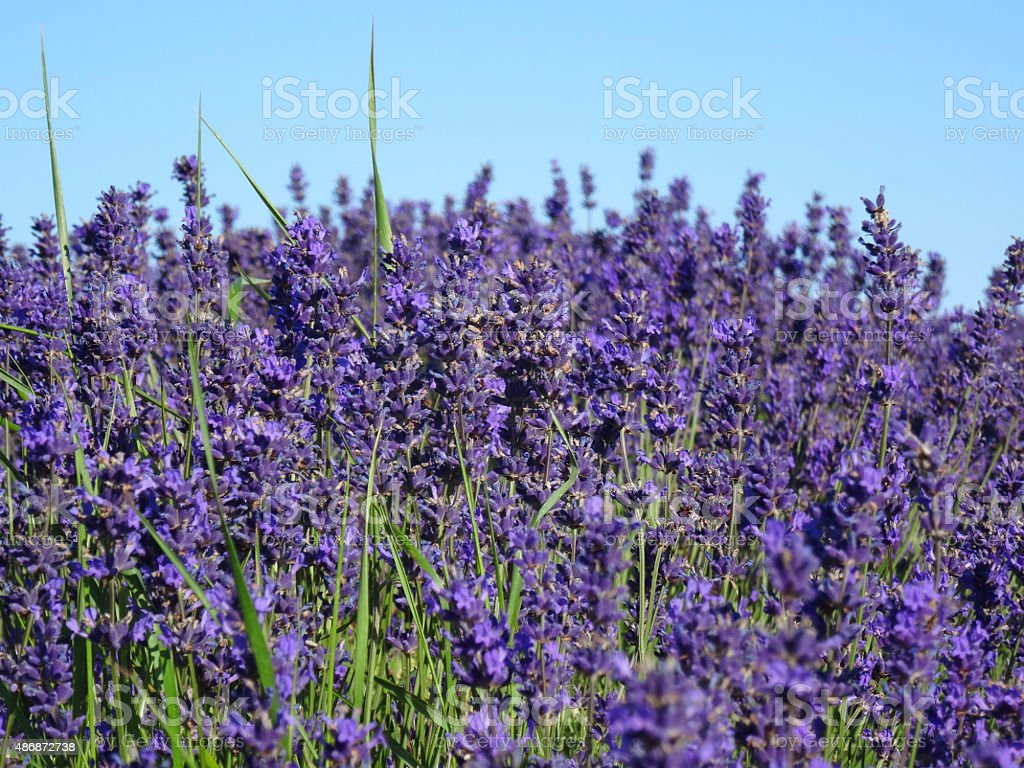 Image Of Lavender Plants With Purple Flowers Against Blue Sky Stock