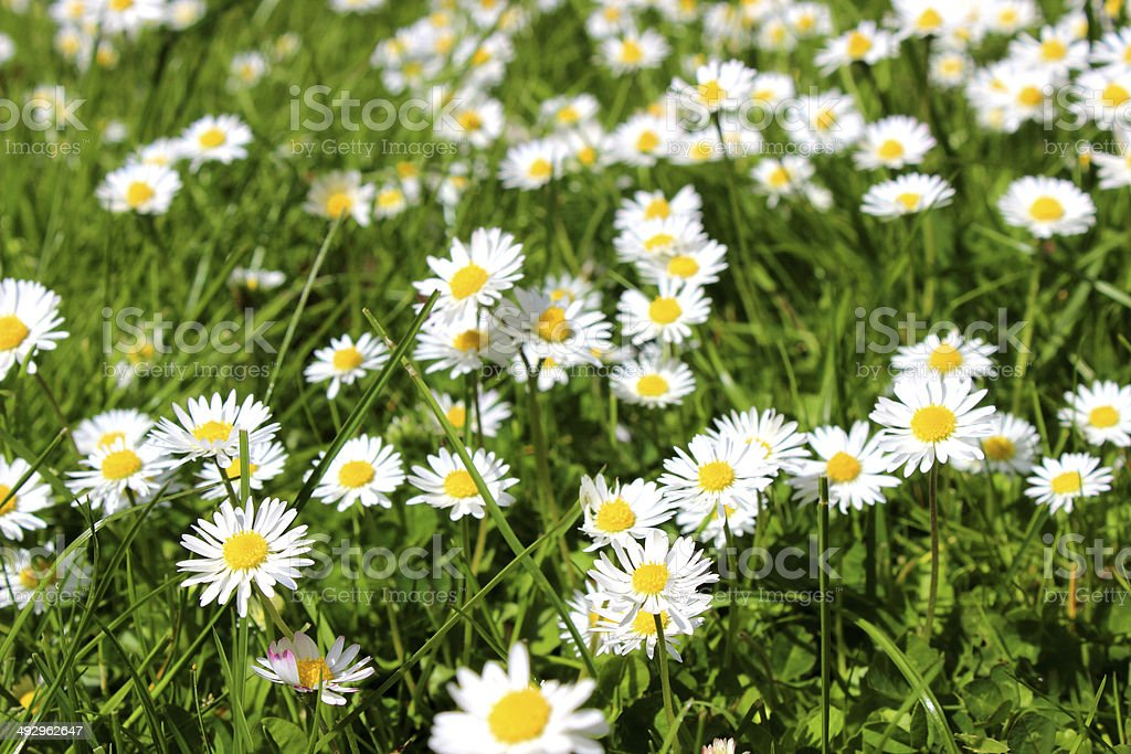 Image of lawn filled with daisies / daise flowers in sunshine stock photo