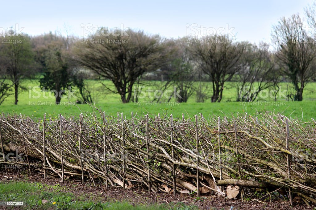 Photo showing the intertwined branches of a layered hedge in spring