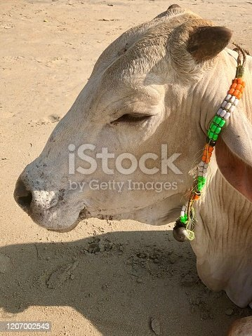 Stock photo showing a head shot of a sacred cow sunbathing / sleeping on sandy Goa beach holiday resort in India.