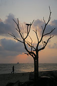 Stock photo of tropical seaside shore with waves lapping at the coastline with banyan tree without leaves growing amongst the rocks, Cochin Beach, Kerala, India. Crows can be seen silhouetted in the trees's branches at sunset.