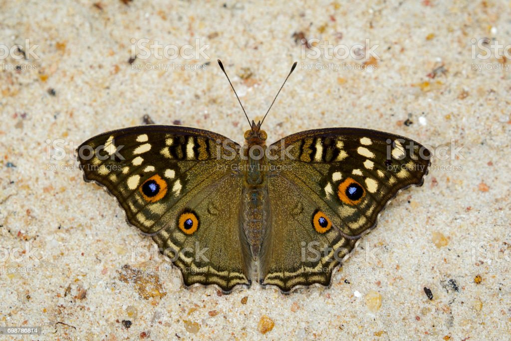 Image of Lemon pansy butterfly on nature background. Insect Animal