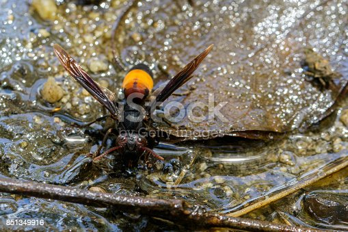 istock Image of Lesser Banded Hornet(Vespa affinis) on nature background. Insect. Animal 851349916