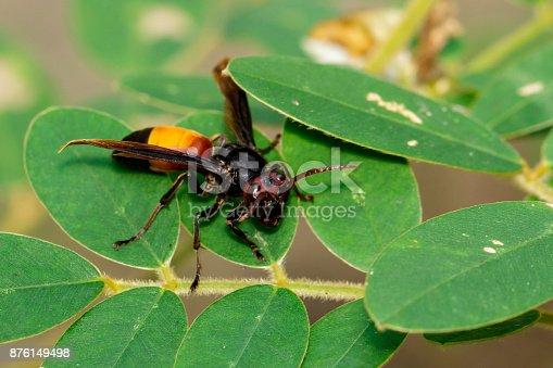 istock Image of Lesser Banded Hornet(Vespa affinis) on the green leaf. Insect. Animal. 876149498