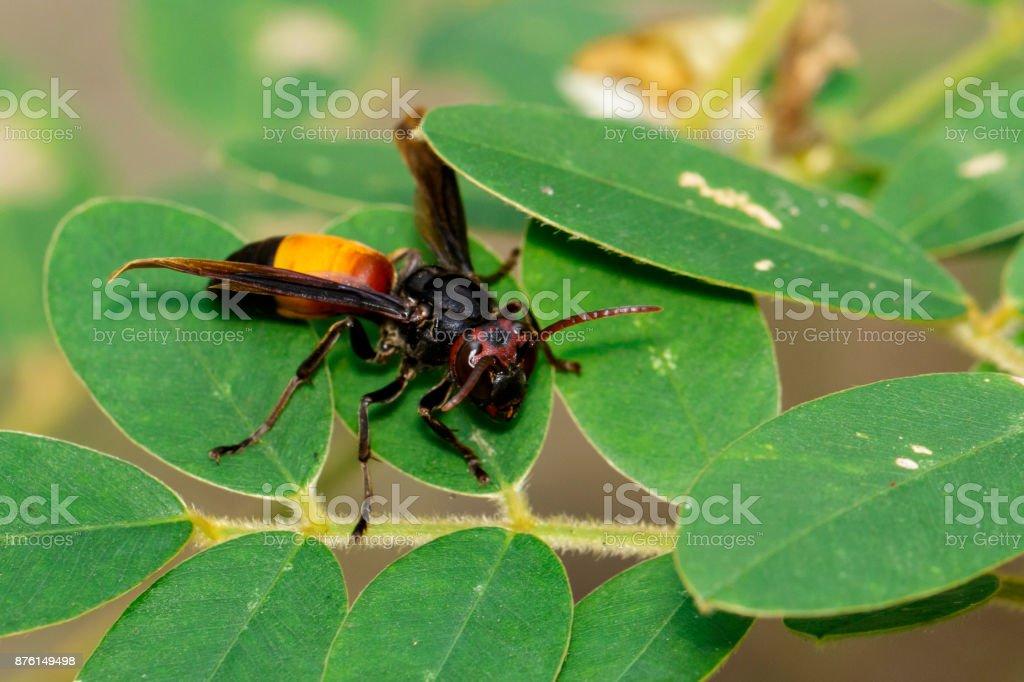 Imagen de menor Hornet(Vespa affinis) en bandas en la hoja verde. Insectos. Animal. - foto de stock