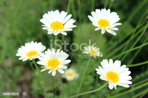 Photo showing some pretty shasta daisies in flower, growing in a sunny herbaceous garden border.  This variety of herbaceous perennial plant belongs to the Asteraceae family.  It is known as Shasta daisy 'White Knight', while the Latin name is: Leucanthemum x superbum.