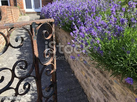 Stock photo of lilac purple English lavender flowers growing in front garden wall by metal rusty wrought iron gate with ironwork, overgrown flowering lavender shrub in herb garden growing in full sun, Lavandula shrubs variety augustifolia officinalis by pathway