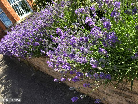Stock photo of lilac purple English lavender flowers growing in front garden wall by house, overgrown flowering lavender shrub needing pruning after blooms, sunny herb garden growing in full sun, Lavandula shrubs variety augustifolia officinalis by pathway