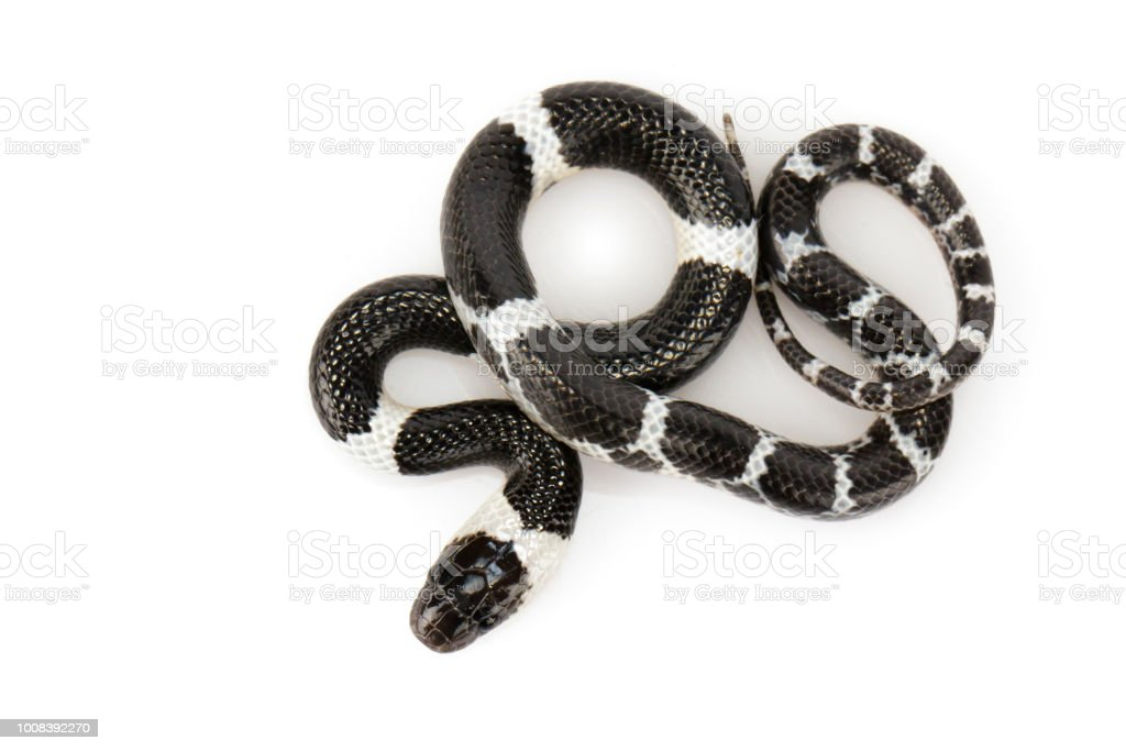 Image of little snake on white background., Reptile,. Animals