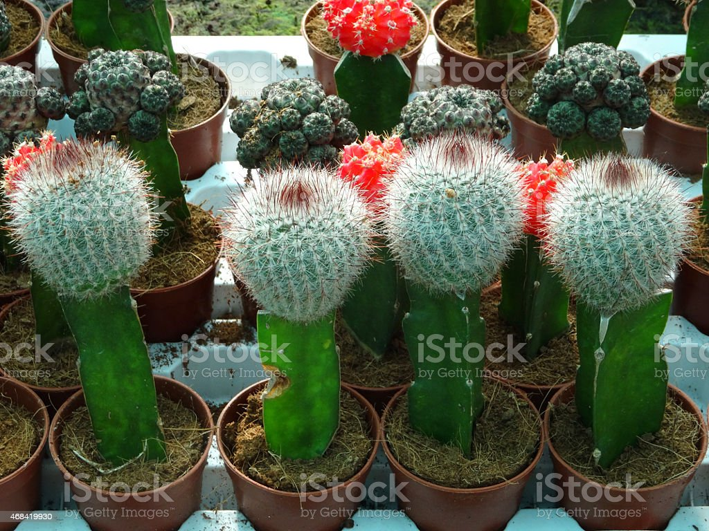 Attractive Image Of Lollipop Moon Cacti Grafted Yellow Red Cactus Plants  OT77