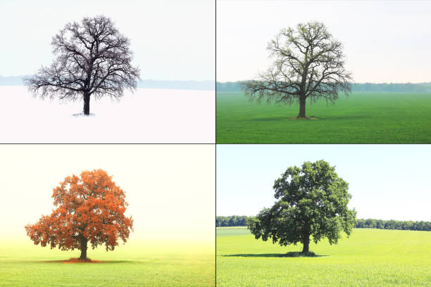 image of lonely tree in winter without leaves on snow, in spring without leaves on grass, in summer on grass with green foliage and autumn with red-yellow leaves as symbol of four seasons Abstract image of lonely tree in winter without leaves on snow, in spring without leaves on grass, in summer on grass with green foliage and autumn with red-yellow leaves as symbol of four seasons four seasons stock pictures, royalty-free photos & images