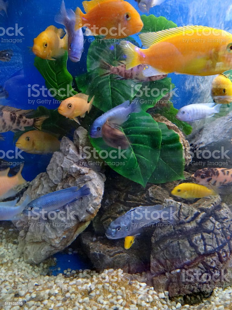 Image of Malawi cichlids shoal in tropical aquarium / fish tank stock photo