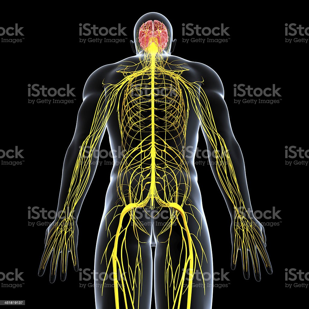 Image of male and his nervous system stock photo