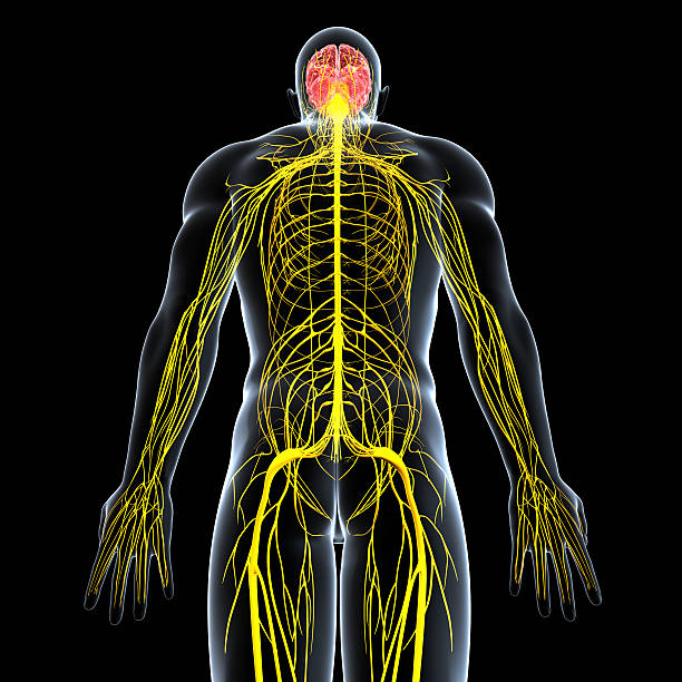 Royalty Free Central Nervous System Pictures, Images and Stock ...