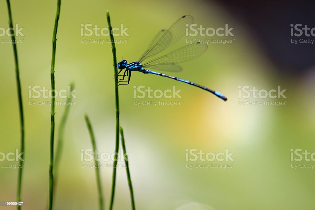 Image of male blue damselfly in sunshine, by garden pond royalty-free stock photo