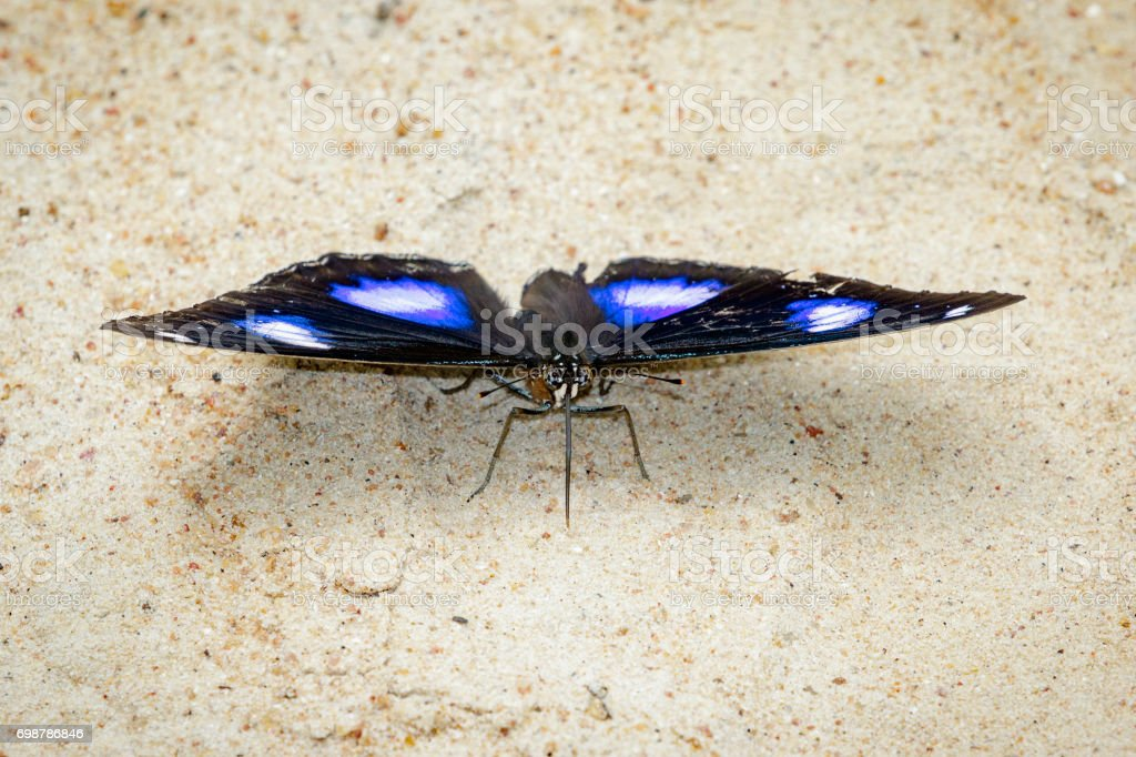 Image of Male Danaid Eggfly Butterfly on nature background. Insect Animal stock photo