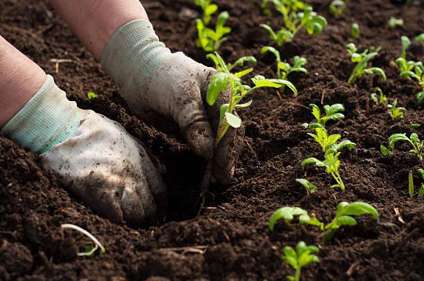 Bild von männlichen Händen Verpflanzung Junge Pflanze – Foto