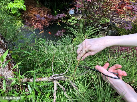 Stock photo of man pruning old black pine tree bonsai branches (pinus nigra), needles and candles / specimen cloud tree pruned in summer in landscaped oriental Japanese garden, shaping and wiring branches next to koi pond with koi carp fish, maples / acer trees