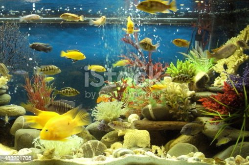 Photo showing large marine effect tropical aquarium fish tank, with small Malawi cichlids and parrot fish, along with fake coral, artificial seaweed, plastic anemones, pebbles and fine coral sand on the base.