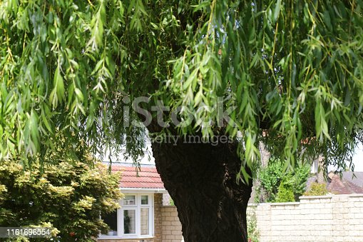 Stock photo of mature old weeping willow tree trunk growing in front garden after heavy spring pruning by tree surgeon, salix chrysocoma, salix babylonica tree with weeping branches for cuttings propagation and green leaves, growing next to driveway lawn grass