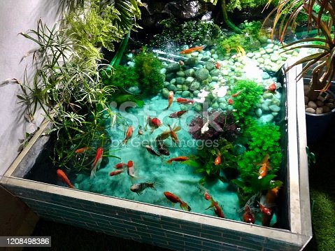 Stock photo brightly coloured red, white and black carp fish, including fantail goldfish, shubunkins, comets, red cap orandas, calico orandas, butterfly koi. The pond has been treated with Methylene Blue (Methylthioninium chloride) as an anti-fungal and anti-parasitic medication.