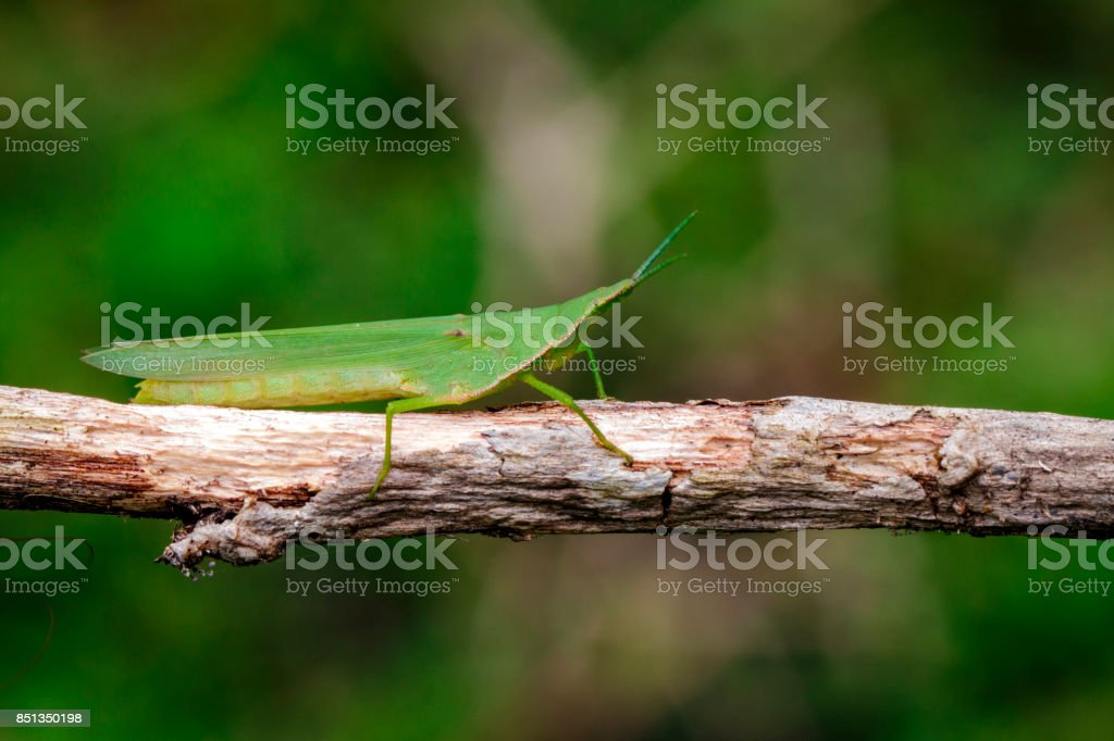 Image of Mediterranean Slant-faced Grasshopper (Acrida ungarica) on a brown branch. Insect. Animal stock photo