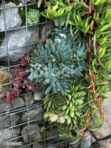 Stock photo of metal garden gabion cage container basket filled with large grey rocks and stones, and planted with selection of growing sedums and succulents, including sedum spathulifolium 'Cape Blanco', in landscaped garden design with gabion wall