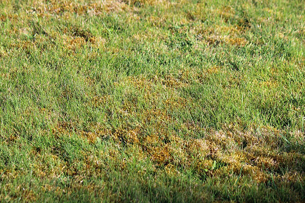 Image of mossy lawn, with patches of moss / dead grass stock photo