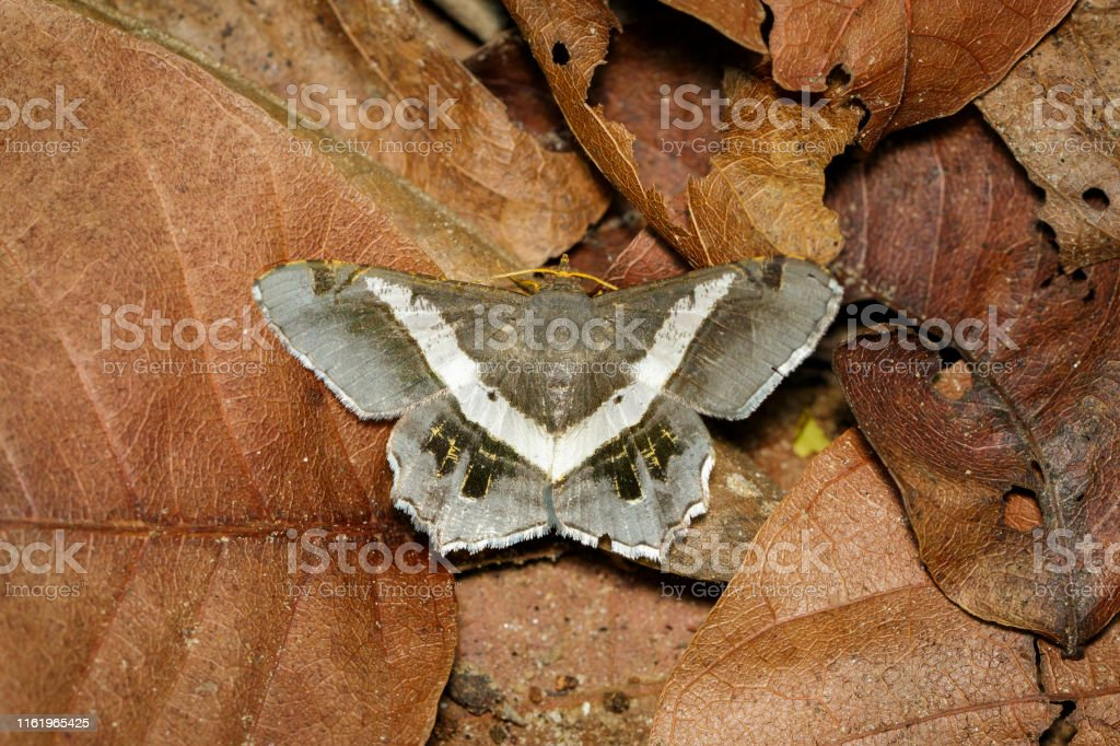 Image of moth or butterfly on dry leaves. Insects. Animals.