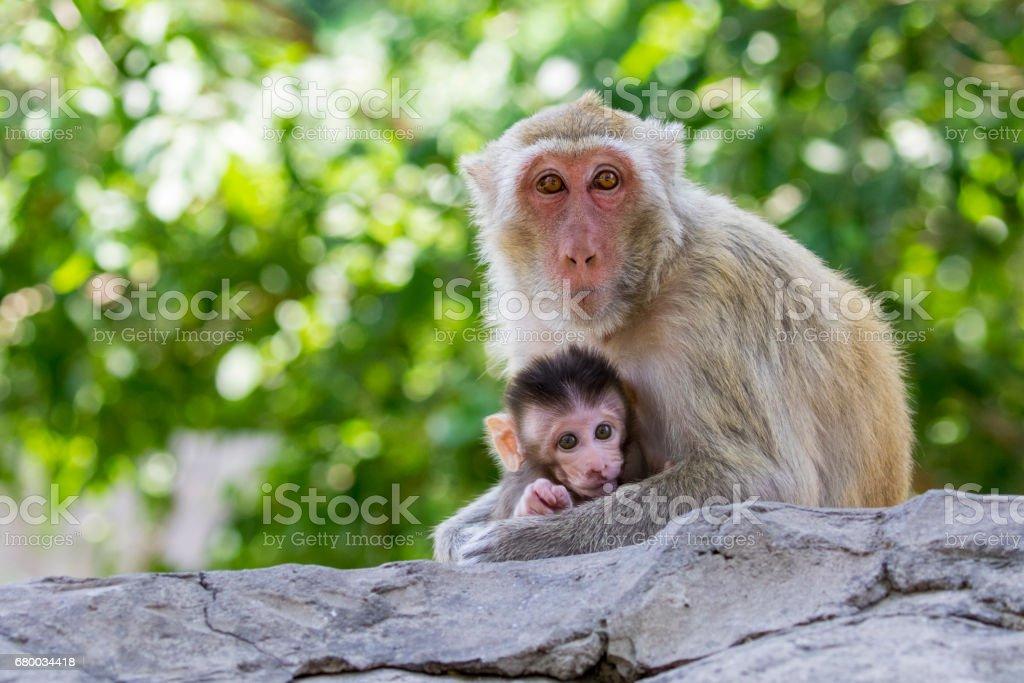 母猿の赤ちゃん猿、自然の背景の画像。野生動物。 ストックフォト
