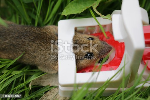 istock Image of mouse trap pest control for small brown house mouse rodent shown dead on garden lawn grass in plastic mouse trap after being humanely killed with broken neck, red and white plastic, reusable spring loaded, baited with cheese, chocolate and fish 1166930952