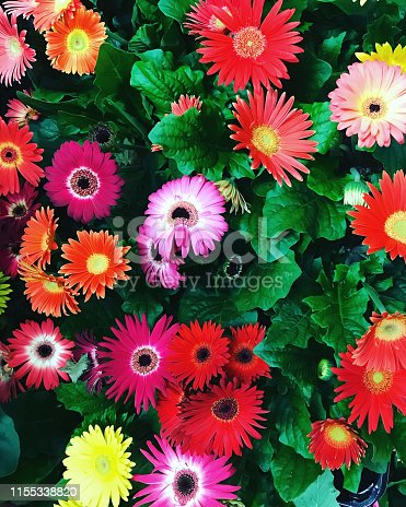 Stock photo of multi-colour yellow, pink, red gerbera flowers like daisies, plants and green leaves as floral rainbow daisy wallpaper background, flowering gerberas in group growing in flower pots as summer annual bedding for garden patio pots / hanging baskets