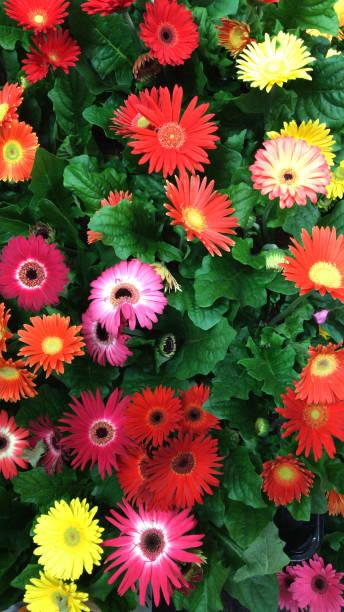 Bild von mehrfarbigen gelben, rosa, roten Gerbera-Blüten wie Gänseblümchen, Pflanzen und grünen Blättern als florale Regenbogen-Baglischühne, blühende Gerberas in der Gruppe, die in Blumentöpfen wächst, als Sommerbedding für Gartenpatientöpfe/h� – Foto