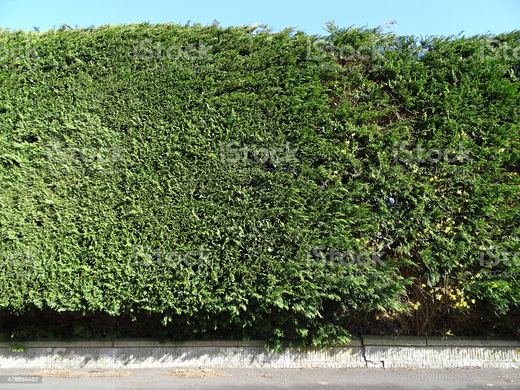 Photo showing a neatly trimmed Leylandii hedge, which is growing...