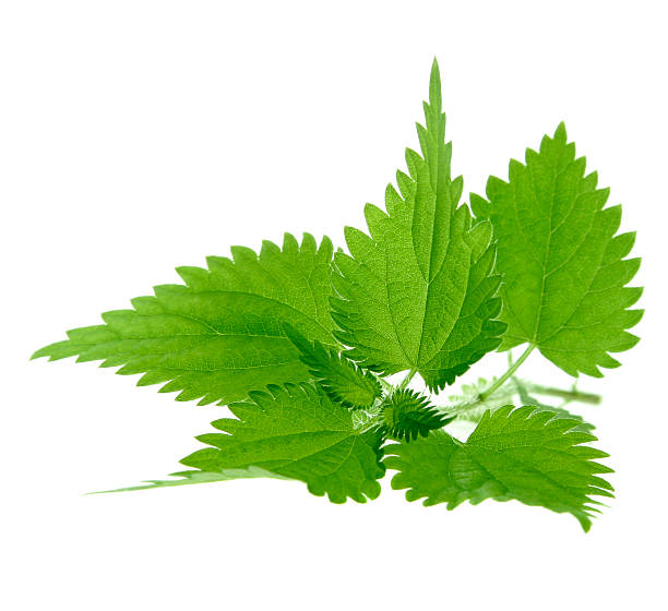 Image of nettle plant isolated on white background Close-up of nettle leaves isolated on white. stinging nettle stock pictures, royalty-free photos & images