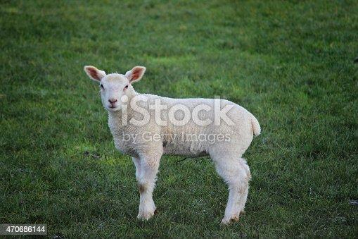 Image Of Newborn Fluffy White Lamb Baby Sheep In Field ...