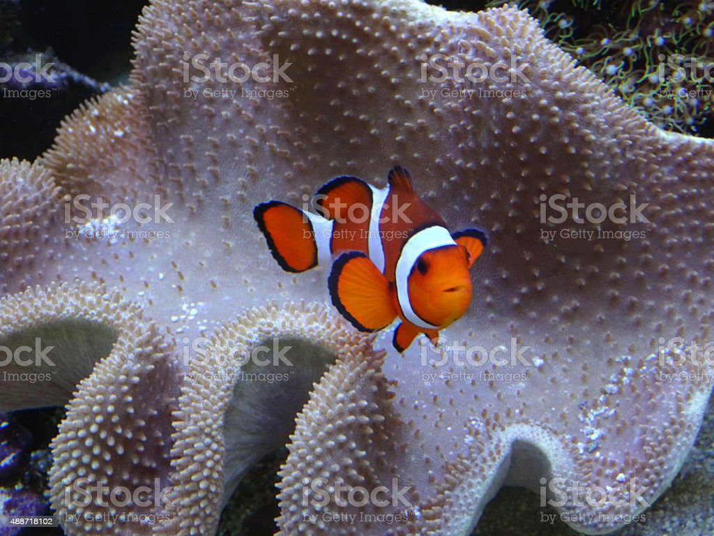 Image of orange and white clown fish with coral anemone stock photo