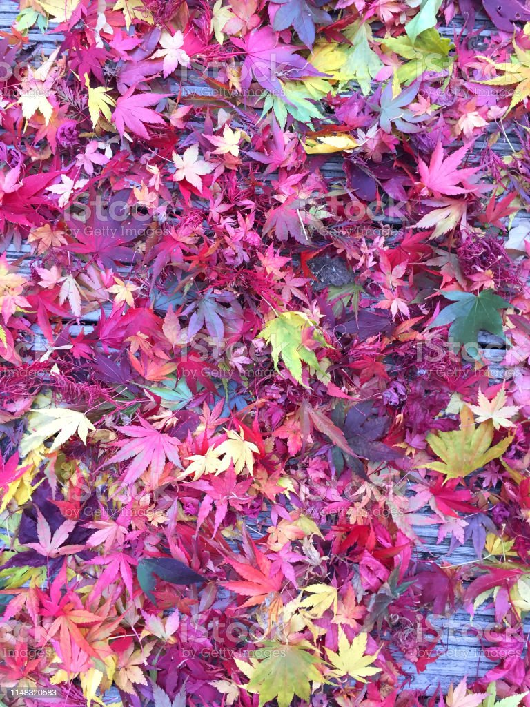 Stock photo of autumn colours / fall colors of maple leaves , forest...