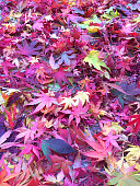 Stock photo of autumn colours / fall colors of maple leaves (acer palmatum tree), forest floor background in autumn with fiery red and orange leaves, forming wallpaper background above.