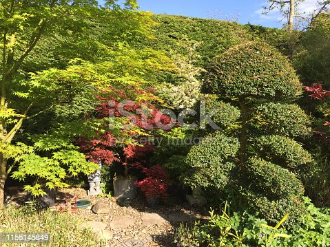 Stock photo of landscaped back garden with red Japanese maple trees and clipped specimen cloud tree with topiary pruning, conifer hedge backdrop (leylandii hedging / Leyland cypress).