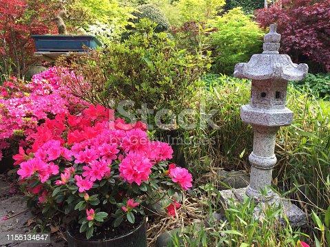 Stock photo of oriental small Japanese courtyard garden / Zen back garden with granite pillar lantern, bonsai trees, flowering azaleas with pink flowers, Japanese maples, dwarf bamboo and neatly mown green lawn grass