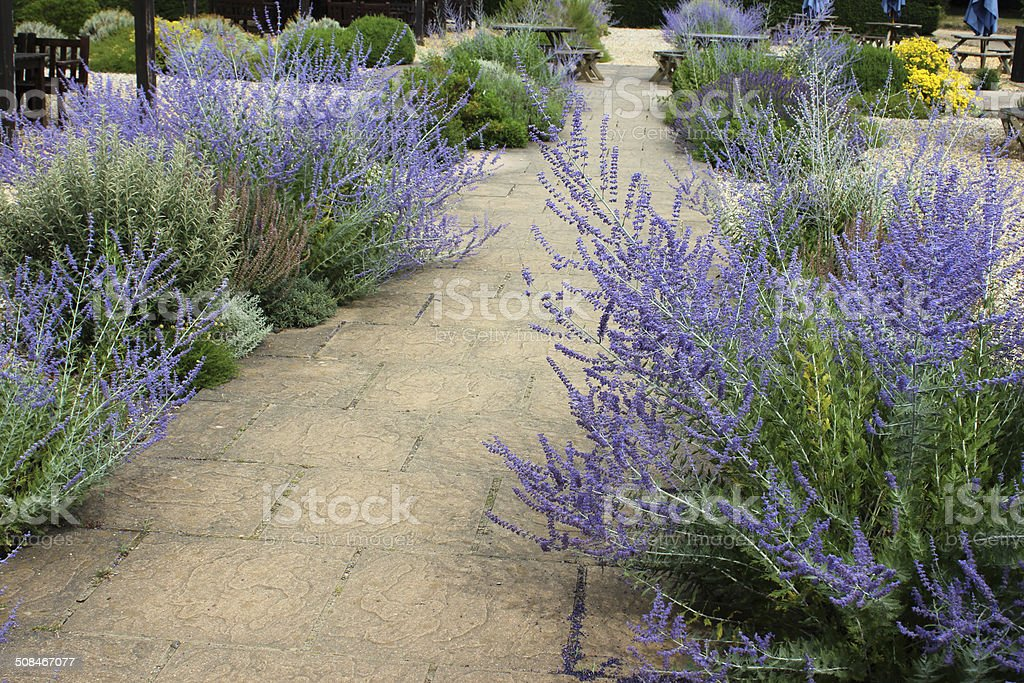 Image of ornamental gravel garden / screen garden, summer flowers, Perovskia royalty-free stock photo