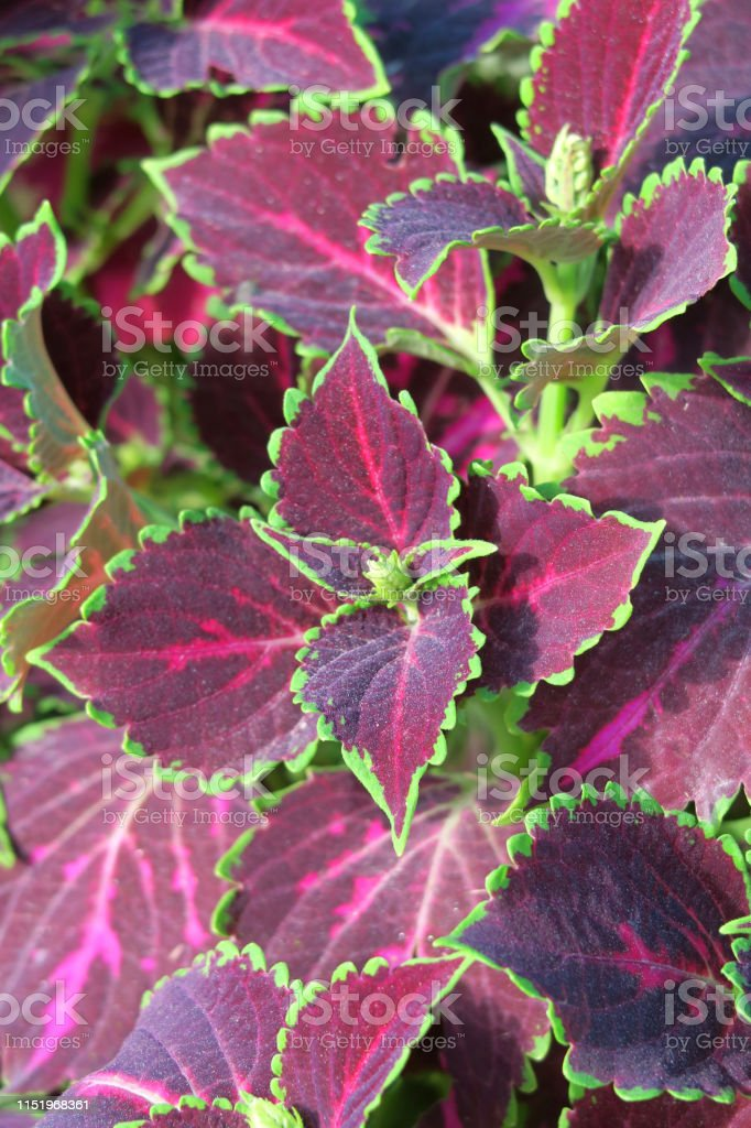 Image Of Ornamental Green And Red Coleus Leaves On ... on house plants and foliage, house plant with striped leaves, rainbow colorful leaves, greenhouse plants with large leaves, house plants that love water, house plants with flowers, house plants for northern exposure, house plants with butterflies, house plant container garden, house plant identification, house plants with seed pods, house plant with orange leaves, house plants with long stems, house plants with fruit, house plants with berries, tropical plants with red leaves, purple and green striped plant with leaves, tropical plant large leaves, house plant with spiky leaves, house plants that are poisonous to cats,
