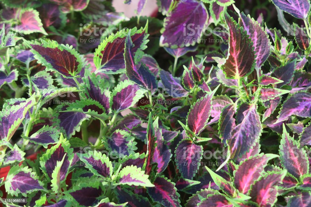 Image Of Ornamental Green And Red Coleus Leaves On ... on orchids red, mums red, cactus red, peppers red, design red, animals red, ornamental grasses red, pots red, berries red, nature red, flowers red,