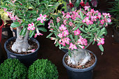 Photo showing a Desert Rose (Adenium obesum) plant that has been made over as a bonsai tree. This species is also known under the common names of Sabi star, kudu, mock azalea and impala lily.