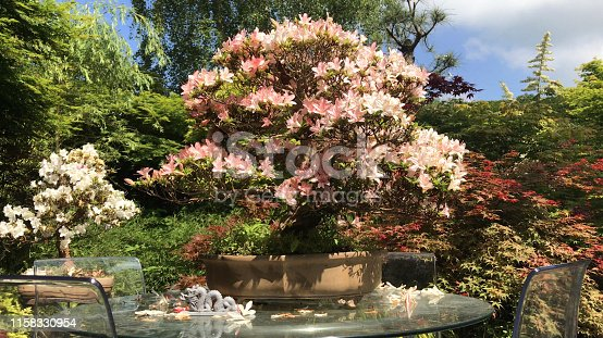 Stock photo of outdoor garden bonsai tree with pink flowers, flowering satsuki azalea bonsais growing on glass patio table in oriental Japanese garden with maples / acers and bamboo, dwarf rhododendron indicum hybrida 'nikko' bonsai tree from Japan in spring
